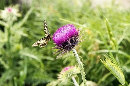 Marbled white, Melanargia galathea, on thistle - CSTF001046