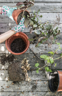 Woman repotting plant, partial view - DEGF000782