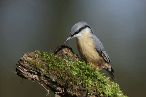 Portrait of nuthatch on a branch - MJOF001160