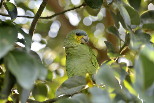 Brazil, Para, blue-fronted amazon sitting on a tree - FLKF000691