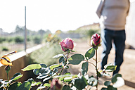 Rose blossoms in a garden - JRFF000567