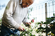Senior man cutting rose in the garden - JRFF000573