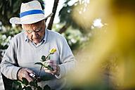 Senior man cutting rose in the garden - JRFF000576