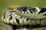 Portrait of grass snake - MJOF001164