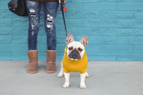 Portrait of French bulldog wearing yellow knit pullover - RTBF000173