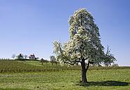 Germany, Bavaria, Wasserburg, Chapel of St. Antony in Selmnau, flowering pear tree - SIEF007011