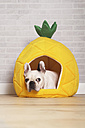 French bulldog lying in his bed shaped like pineapple - RTBF000180