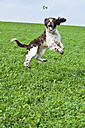 English Springer Spaniel jumping in the air on a meadow - MAEF011499