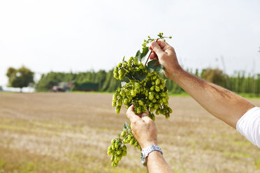 Farmer holding hops against fields - MAEF011583