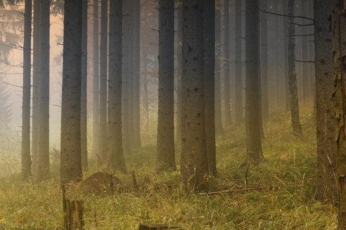 Austria, Styria, Pernegg an der Mur, Grazer Bergland, pine forest - GFF000576