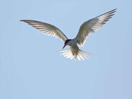 Common tern, Sterna hirundo - ZCF000385