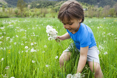 Little boy picking dandelions on meadow - VABF000501