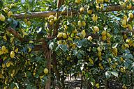 Italy, Campania, Amalfi, Valle delle Ferriere, lemon plantation - HLF000974