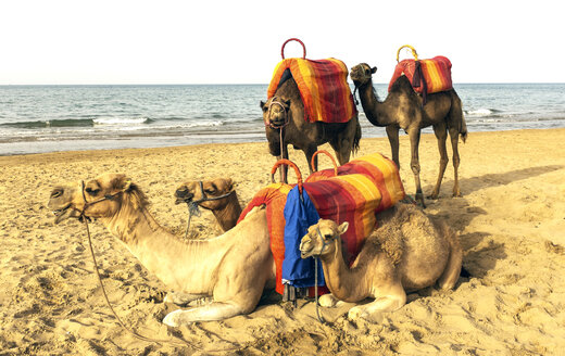 Several camels resting on a beach in the Middle East - JLRF000028