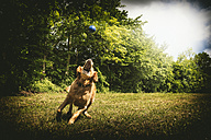 Young golden retriever snapping blue ball on meadow - FRF000439