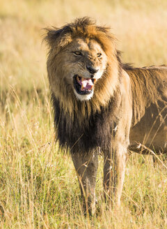 Africa, Kenya, wild lion in the Maasai Mara National Reserve - JLRF000029