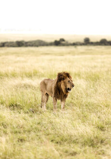 Africa, Kenya, wild lion in the Maasai Mara National Reserve - JLRF000032