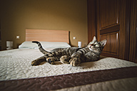 Tabby cat lying on the bed - RAEF001168