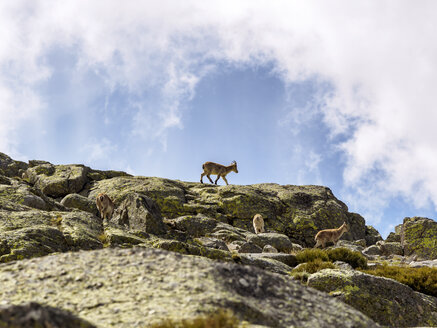 Spain, Sierra de Gredos, ibex in mountains - LAF001656
