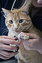 Veterinary cutting nails of a cat - ABZF000621