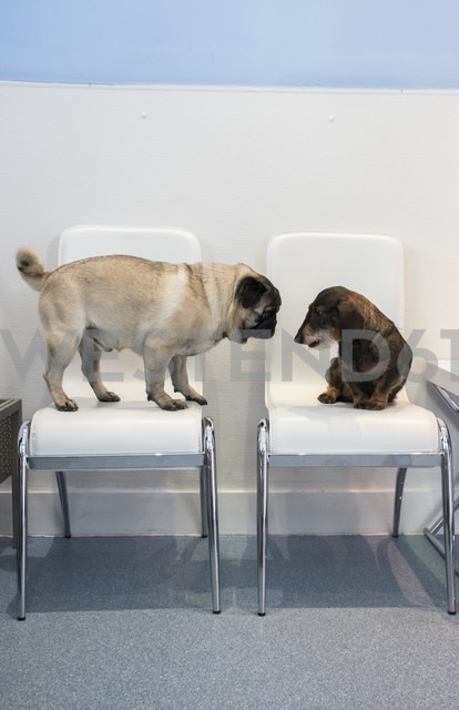 Two dogs on chairs of waiting room of a veterinary clinic - ABZF000648