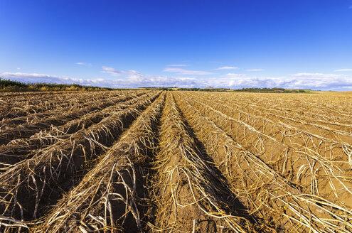 UK, Scotland, East Lothian, field of potatoes ready for harvesting - SMAF000467