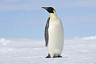 Antarctica, Snow Hill Island, Emperor penguin - RUEF001702