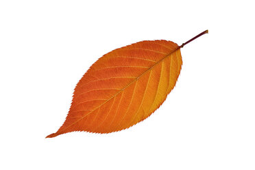 Autumn leaf of cherry tree in front of white background - RUEF001717