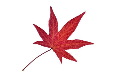 Autumn leaf of sweetgum in front of white background - RUEF001720