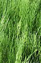 Common horsetail - CSF027467