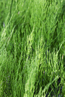 Common horsetail - CSF027467
