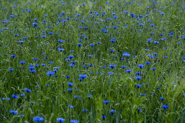 Cornflowers in field - NGF000340