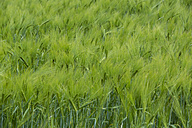 Germany, green cornfield - NGF000343