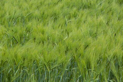 Germany, green cornfield - NGF000343