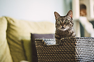 Tabby cat sitting in a basket at home - RAEF001184