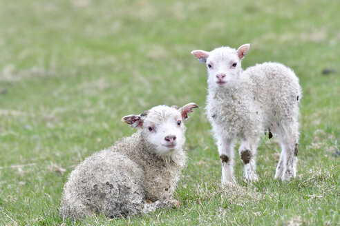 Two lambs on a meadow - FDF000172