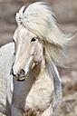 Iceland, portrait of Icelandic horse - FDF000178