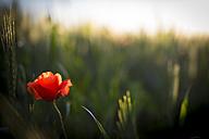Red poppy in a field of wheat - LOMF000296