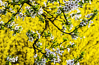 White apricot blossoms and yellow forsythia blossoms - HAMF000206