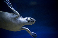 Swimming turtle - NGF000345