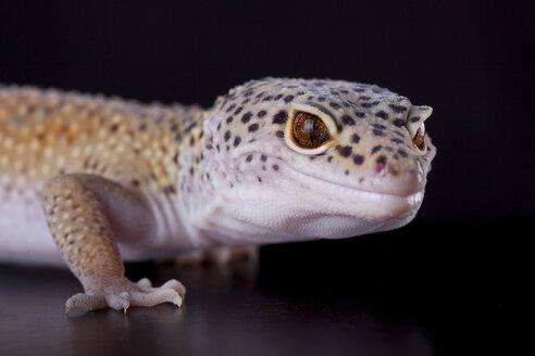 Portrait of a leopard gecko - ERLF000174