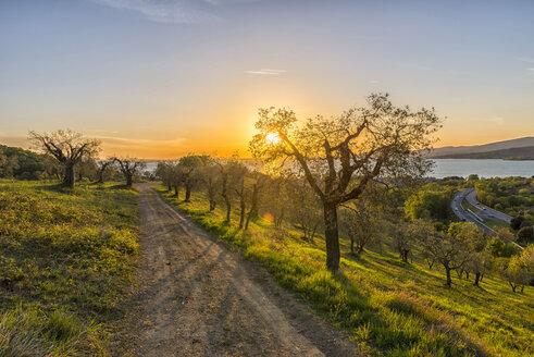 Italy, Umbria, Lake Trasimeno, Olive grove on the hills at sunset - LOMF000299