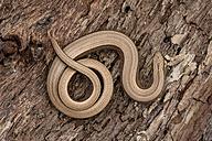 Blindworm on bark - MJOF001191