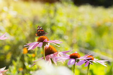 Medicinal plant Echinacea and butterfly - HSIF000441