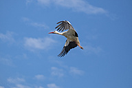 Flying white stork - ELF001758