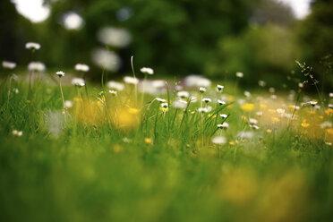 Germany, summer meadow in june - JTF000746