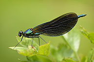 Male Beautiful Demoiselle on a leaf - MJOF001201