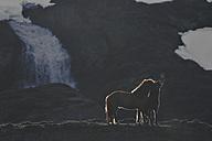 Iceland, two Icelandic horses at twilight - FDF000190