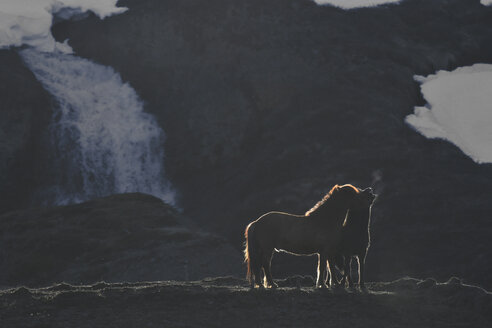 Iceland, two Icelandic horses at twilight - FDF000190