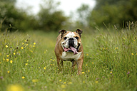 English bulldog on a meadow - MJOF001203